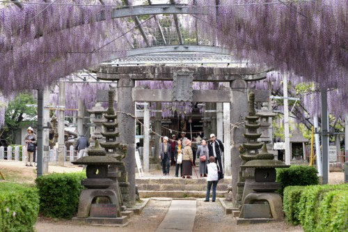 Wisteria over the shrine torii