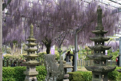 Canopy of wisteria over lawns leading up to Hiyoshi shrine